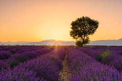 Valensole Sunrise (deanallanphotography) Tags: art adventure anawesomeshot artisticexpression beauty colors expression field flickrsbest flowers ngc photography impressedbeauty sky nikon landscape light mountain natgeo nature outdoor outdoors peaceandquiet peaceful panorama quiet travel texture tree view valley sunrise lavender morning