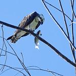 Eastern Osprey Pandion cristatus thumbnail