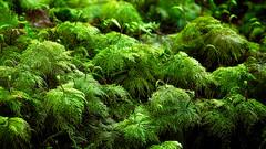 Miniature Forest (jeandelalune) Tags: fern moss