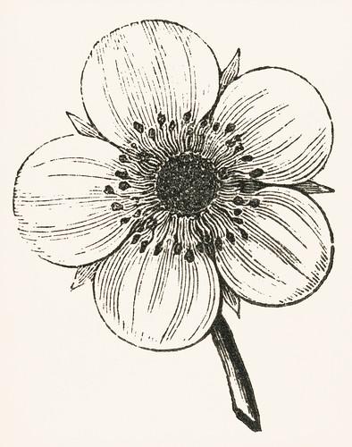 Vintage flower illustration. Digitally enhanced from our own original plate.