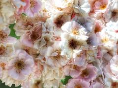 A Closer Look (Robert Cowlishaw (Mertonian)) Tags: parasophia fms mertonian robertcowlishaw ineffable awe wonder lunchwalk canon powershot g1x mark iii canonpowershotg1xmarkiii beauty beautiful macro roses