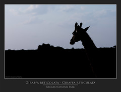 Giraffa reticolata - Giraffa reticulata @Kruger National Park South Africa (PhotoTour Lanzarote.com) Tags: massimopisetta sudafrica krugernationalpark southafrica giraffareticolatagiraffareticulata massimopisettaphotography pisetta canon wwwmassimopisettaphotographycom krugernationalparksouthafrica wwwphototourlanzarotecom phototourlanzarote