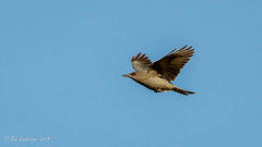 Pinyon Jay (Bob Gunderson) Tags: moranspring birds california corvids gymnorhinuscyanocephalus jays monocounty northerncalifornia pinyonjay sierras