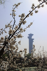 Olympic Blossoms (AJ - Andrew Jones) Tags: beijing china flower cherry blossom olympic tower tree spring nature natural beautiful asia plant park forest