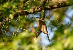 cuckoo (long.fanger) Tags: centreville virginia utilityeasementarea yellowbilledcuckoococcyzusamericanus