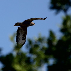 Buzzard. (wurzel.pete.3.7 Million views,Ta!) Tags: 15718 buzzard birdofprey bird wild fly flight raptor uk bletchingley surrey buteobuteo