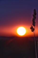 Sonnenaufgang in der Pfalz / Sunrise in the Palatinate (reipa59) Tags: sonnenaufgang sun sonne sunrise pfalz summer landschaft northpalatinate countryside nature rheinlandpfalz sunbeams nordpfalz aussichtspunkt earlymorning sunrays landscape natur ransweiler germany getreidehalm palatinate getreide