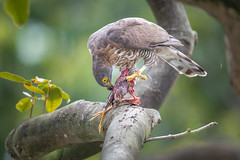 Crested Goshawk feasting on a myna (BP Chua) Tags: bird nature wild wildlife animal nikon d850 600mm singapore birdofprey eagle hawk goshawk crestedgoshawk