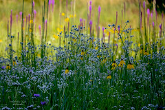 Meadow (mariola aga) Tags: grassland meadow summer flowers plants wildflowers bokeh dof nature coth alittlebeauty fantasticnature coth5 thegalaxy
