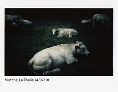 La Thuile (ro_buk [I'm not there]) Tags: mucche vacche instax istantanea instaxwide lathuile