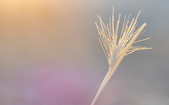 Simplicity is a single blade of grass in the setting sun (susie2778) Tags: sunset grass pastelcolours olympus omdem1mkii olympusm40150mmf28 olympusuk