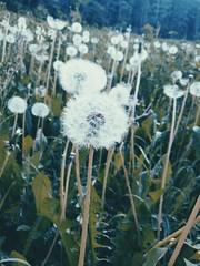 Pissenlit (lunyssapix) Tags: flowers france green nature earth