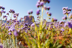 Blooming Flowers near Monument Valley, Utah (thedot_ru) Tags: bloom flowers purple grass redrock noclouds sky mountain monument valley nationalpark monumentvalley skyporn travel adventure travelling travels wanderlust tourism tourist utah arizona america unitedstates usa canon5d 2014