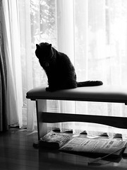 Silhouette in the Window (sjrankin) Tags: 20july2018 edited animal cat argent silhouette bench window curtains kitahiroshima hokkaido japan