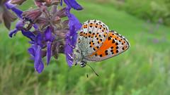 Nogel's Hairstreak close up (Tanya Mass) Tags: meadow wildflowers wild nature macro butterfly endangeredspecies rarebutterfly томаресногеля nogel'shairstreak tomaresnogelii greenmeadow nogel'shairstreakventralview ukraine