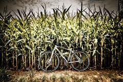 bike ride (Frank KR) Tags: bike ride germany deutschland fahrrad mais corn sun sunset sundown green hite field fields sonyilce6300 sony ilce6300 sonya sony6300