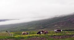 caballos fauna en carretera ruta Reikiavic a Siglufjordur Islandia 01 fotos tomadas desde un autobus (Rafael Gomez - http://micamara.es) Tags: caballos fauna en carretera ruta reikiavic siglufjordur islandia fotos tomadas desde un autobus animales caballo iceland