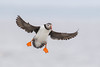 Atlantic Puffin (Explored) (Tommy Quarles) Tags: atlantic puffin eastern egg rock knox county maine hog island 2018 canon 7d mark ii