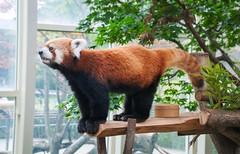 32nd. (Squig O) Tags: sk stuff south korea everland red panda