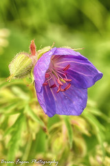 Rain flower (brianfagan) Tags: 6d brianfagan beeston brianfaganphotography canal canon eos river rylands trent weirfields
