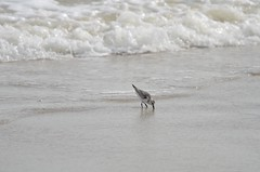 DSC_9862 (padraicsmeehan) Tags: beach sunandsurf sand birds coast longisland atlanticbeach ny newyork unitedstates usa america beachclub pipingplover charadriusmelodus shorebirds coastal southshore wading ocean atlanticocean
