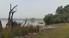 revegetation at the water's edge (ClareSnow) Tags: australia lakegwelup lake perth fog winter