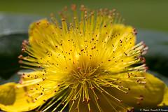 Pétillante.... (Elyane11) Tags: fleur jaune jardinsoleil millepertuis arbuste