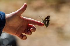 Purple Emperor Butterfly (Apatura iris) (BiteYourBum.Com Photography) Tags: dawnandjim dawnjim biteyourbum biteyourbumcom copyright©2018biteyourbumcom copyright©biteyourbumcom allrightsreserved canoneos7d canonefs60mmf28macrousm canonmacrotwinlitemt26exrt sigma50500mmf4563dgoshsm canonef1740mmf4lusm apple imac5k lightroom6 ipadair appleipadair camranger zerenestacker focusstacking polaroidautofocusdgmacroextensiontubes manfrotto055cxpro3tripod manfrotto804rc2pantilthead loweproprorunner350aw uk unitedkingdom gb greatbritain england surrey butterflyconservationsurreysouthwestlondonbranch surreyandsouthlondonbutterflyconservationtrust chiddingfold chiddingfoldforest oakenwood oakenwoodbutterflyreserve purpleemperor butterfly apatura iris purpleemperorbutterfly apaturairis