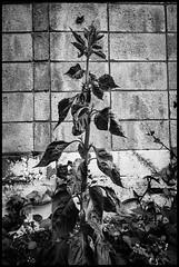 Jingūmae, Shibuya-ku, Tōkyō-to (GioMagPhotographer) Tags: tōkyōto japonica shibuyaku jingumae plants leicamonochrom japanproject japan detail tokyo tkyto