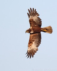 Marsh Harrier in flight 111775 (wildlifetog) Tags: mbiow martin marsh harrier isleofwight inflight blackmore britishisles britain bird birds british brading wild wildlife wings nature uk canon england european eos7dmkii