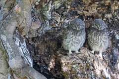 Little Owl Chicks (RichardxS) Tags: 2018 athenenoctua england greatbritain june littleowls strigidae sudbourne suffolk summer twochicks uk unitedkingdom woodland gb chicks wildbirds birds wildlife