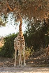 DSC_8740-2 (paul mariano) Tags: paulmarianocom paul mariano allrightsreserved namibia wildlife photography animals africa