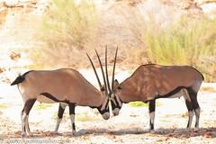 DSC_8841-2 (paul mariano) Tags: paulmarianocom paul mariano allrightsreserved namibia wildlife photography animals africa