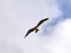 07-01-18-0025427 (Lake Worth) Tags: animal animals bird birds birdwatcher everglades southflorida feathers florida nature outdoor outdoors waterbirds wetlands wildlife wings