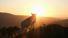 king of sheep... (CatMacBride) Tags: sheep sun sunset video