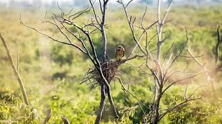 gavião-caramujeiro (Rostrhamus sociabilis)