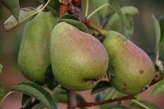 Pears (pepa_carbassa) Tags: segrià natura nature naturalezacautivadora naturaleza macro frutas fruits peres peras despoires pears