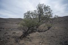 acacia,  Umberatana Station (thoughtfactory) Tags: garysauerthompson landscape acacia degradedlandscape overgrazing cameltrek digital colour sonya7r111 novoflexadaptor leicasummicron35mmf20asph pastoral