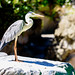 Grey Heron (Ardea cinerea) in Yokohama Zoological Gardens : アオサギ(青鷺、蒼鷺)