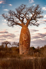 Baobab bouteille (Jean-Jacques Mattei) Tags: madagascar adansonia baobab bouteille afrique africain digitata mangily tsaravahiny adansoniadigitata baobabafricain tree arbre africa