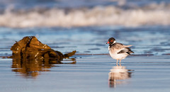 Hooded Plover (chrissteeles) Tags: hoodedplover plover bird birding victorharbor shorebird southaustralia sa