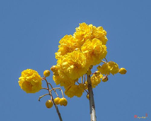 Yellow Cotton Tree (Cochlospermum regium) (DTHN0229) ต้นสุพรรณนิการ์
