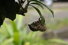 180720004 (murbozero) Tags: murbo japan cicada