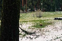 Log Meadow May, 2015 (crazy_rhythms) Tags: california nikkor50mmf18ais nikonf3 sequoianationalpark publiclands ursusamericanus