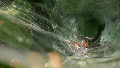 Portal of the labyrinthica (Ron and Co.) Tags: spider agelenalabyrinthica arachnid web funnelweb macro woodland mouseholdheath