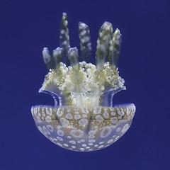 Upside down jelly (yosmama151) Tags: 2016 houstonzoo texas vacation jellyfish marinelife invertebrate aquarium
