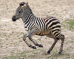 Zebra Burgerszoo JN6A6372 (j.a.kok) Tags: zebra grantzebra equus mammal zoogdier dier animal africa afrika herbivore burgerszoo burgerzoo