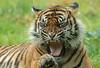 sumatran tiger Jarum Burgerszoo JN6A5752 (j.a.kok) Tags: tiger sumatraansetijger sumatrantiger sumatra asia azie pantheratigrissumatrae jarum cat kat animal burgerszoo mammal zoogdier dier predator