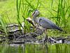 It was This Big (Alemap.1) Tags: fish heron catch eat lake