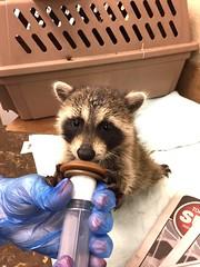 Baby raccoon gets his breakfast (Peter Granka) Tags: raccoon wildlife rescue